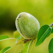 Almendro guara con almendras con corteza en árbol
