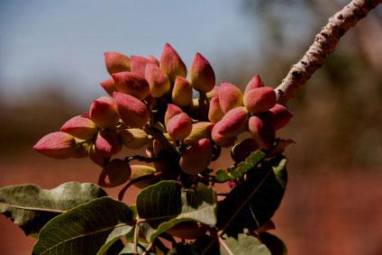 Pistacia vera, pistachos en el árbol