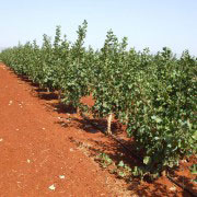 Campo de pistachos