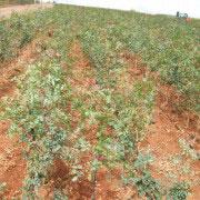 Campo de pistachos con tractor