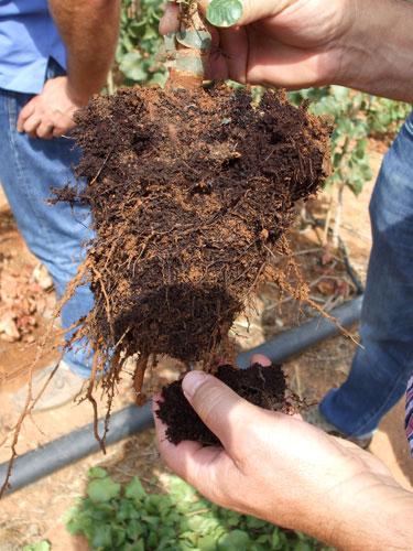 Raíz con tierra de planta agroforestal