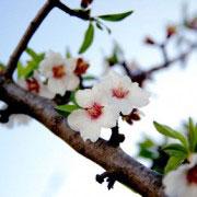Rama de almendro en flor