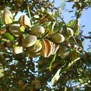 Fruto del almendro en la rama