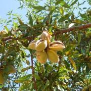 Detalle de la almendra Guara en el árbol
