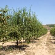 Campo de cultivo de almendros