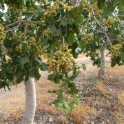 Fruto del pistacho en rama