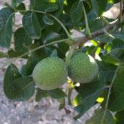 Fruto del nogal en rama