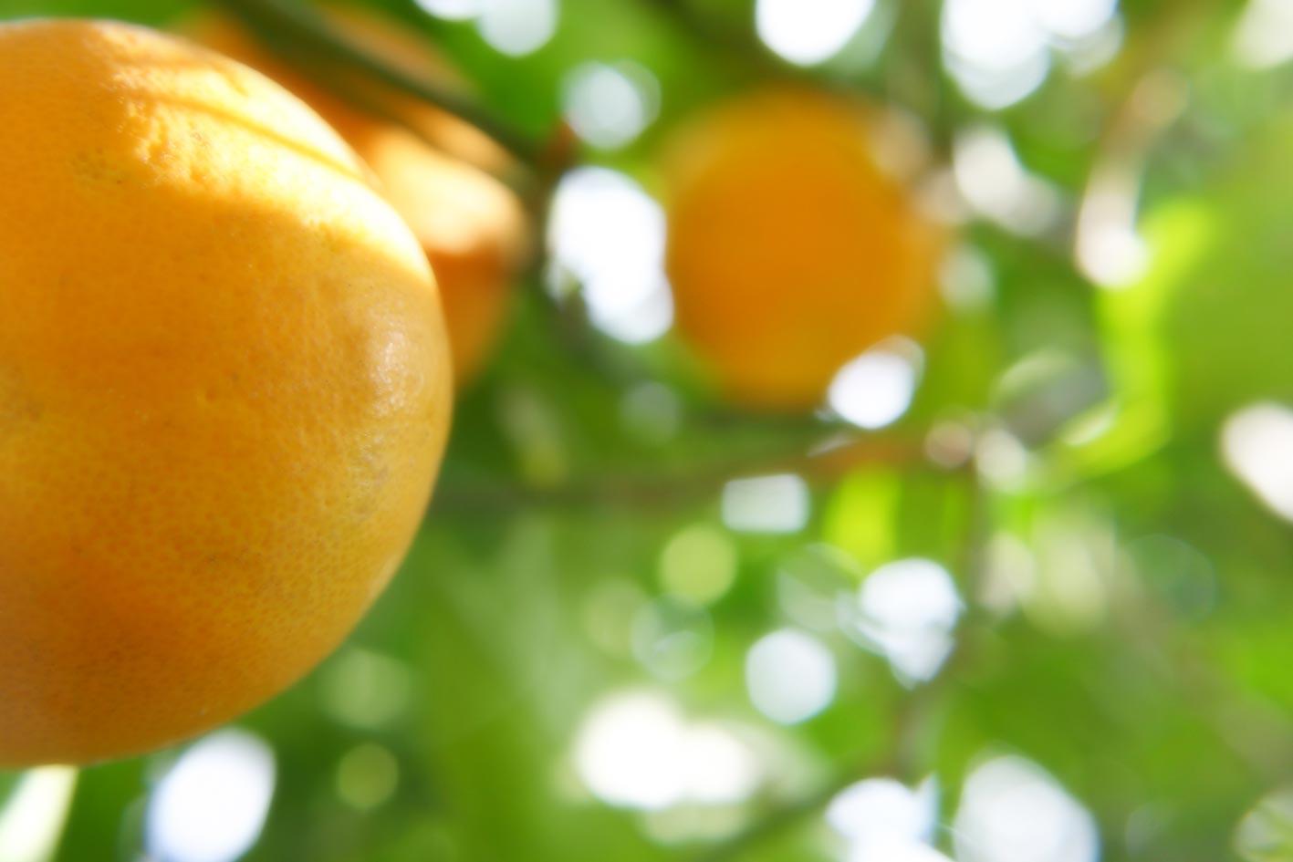 campo de naranjos en Valencia