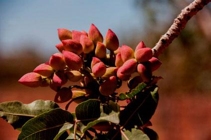 fruto para ser recogido y llevado a la planta de procesado del pistacho