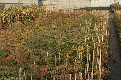 portainjertos pistacho UCB1