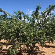 árbol de almendro variedad Guara de floracion tardia