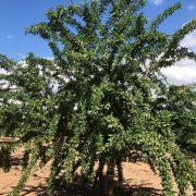 variedad de almendro Lauranne de floracion tardia