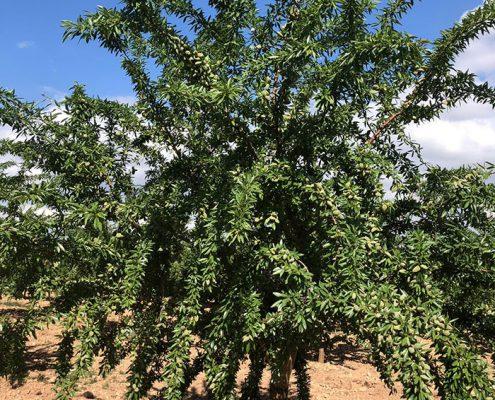 arbol de almendro variedad lauranne de floracion tardia