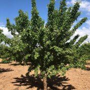 arbol de almendro variedad marinada de floracion tardia