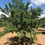 arbol de almendro variedad penta de floracion tardia