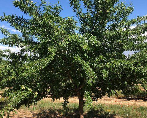 arbol de almendro variedad vairo de floracion tardia