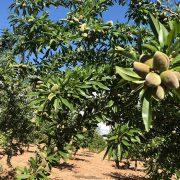 detalle de fruto y hojas de almendro variedad Guara de floracion tardia