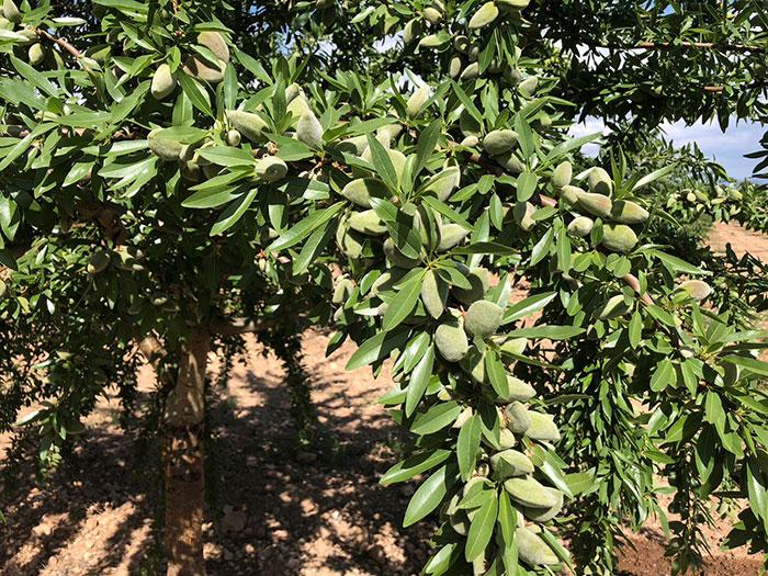 fruto y hojas de almendro Lauranne floración tardía