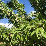 detalle de fruto y hojas de almendro variedad marinada de floracion tardia