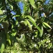 detalle de fruto y hojas de almendro variedad penta de floracion tardia
