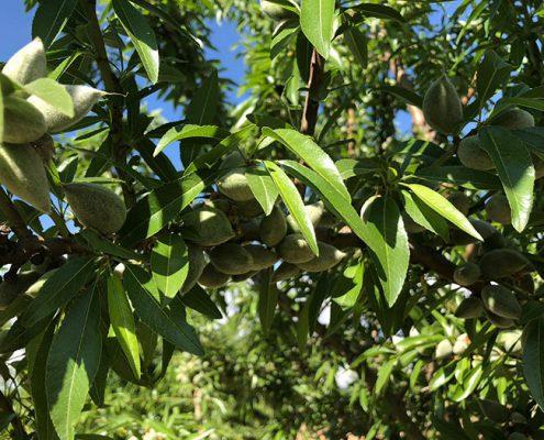 fruto y hojas almendro Penta