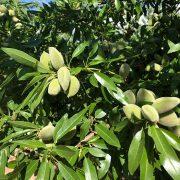 detalle de fruto y hojas de almendro variedad vairo de floracion tardia