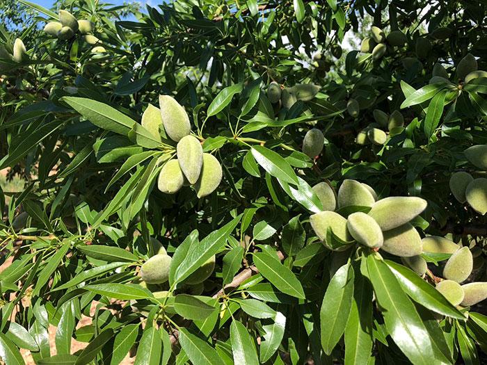 fruto y hojas de almendro Vairo de floración tardía