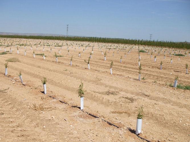 plantar almendros de forma correcta